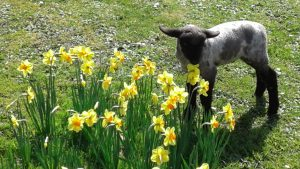 billy-and-daffodils